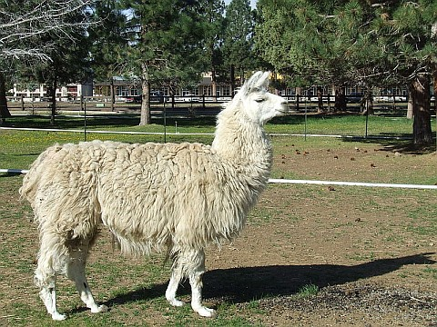 Llama (photo from Wikimedia Commons)