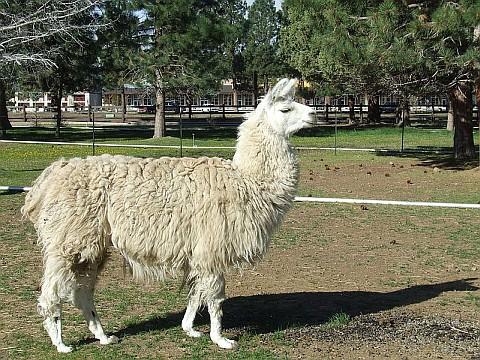 Llama (photo from Wikimedia Commons)