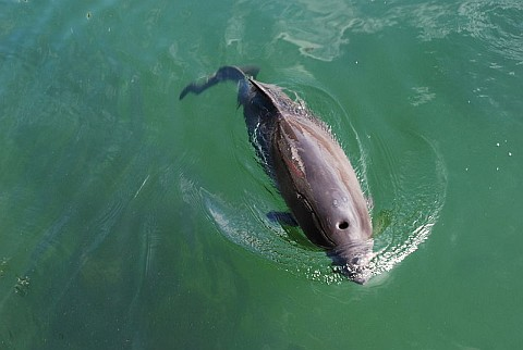 Harbor porpoise (photo from Wikimedia Commons)