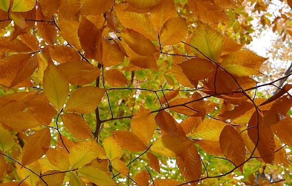 Golden beech leaves in Schenley Park (photo by Kate St. John)