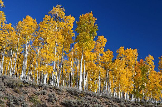 The world's oldest organism, Pando aspen (photo by USDA via Wikimedia Commons)