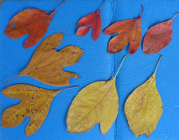 Sassafras leaves in three shapes and two colors (photo by Kate St. John)