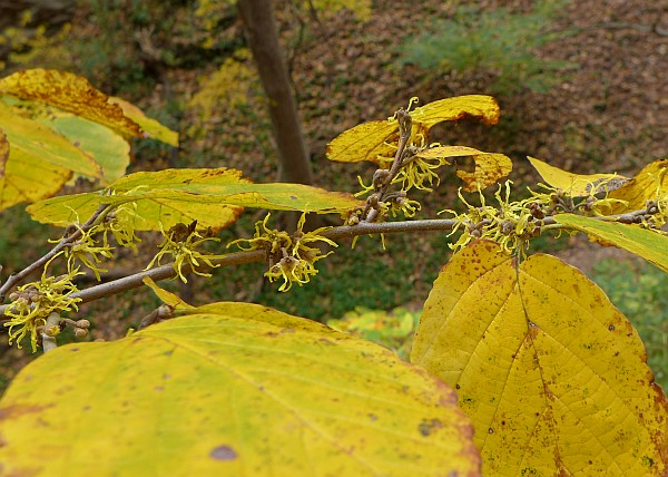 Witch-hazel blooming in Schenley Park (photo by Kate St. John)