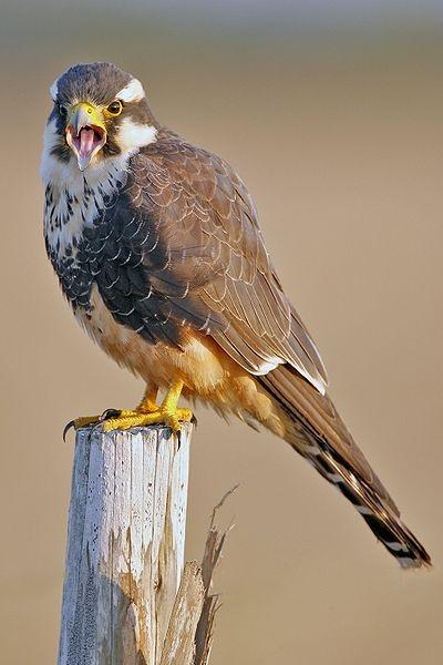 Aplomado falcon, Laguna Atascosa NWR, Texas (photo from Wikimedia Commons)