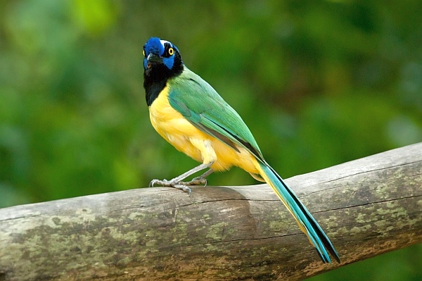 Green jay, Cyanocorax yncas, Venezuela (photo by Dilankf from Wikimedia Commons)