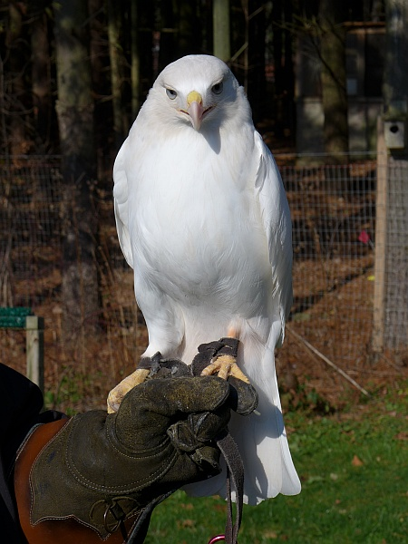 Leucistic red-tailed hawk, named Cloud, at Medina Raptor Center (photo by Kate St. John)