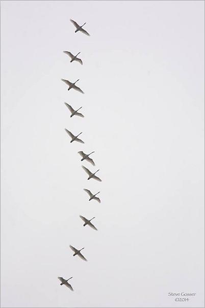 Tundra swan flock in migration (photo by Steve Gosser)