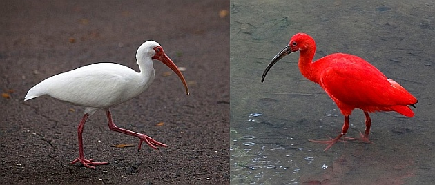 White ibis and scarlet ibis (photos from Wikimedia Commons, Creative Commons licenses)