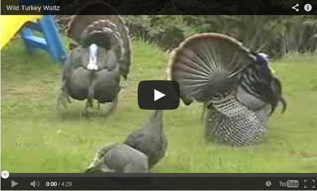 Wild turkeys waltz (screenshot from YouTube video)
