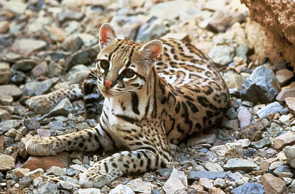 Ocelot (phti by USFW via Wikimedia Commons)