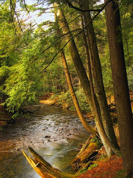 Eastern hemlocks shading Tom's Run, Cook Forest State Park (photo by Nicholas Tonelli via Wikimedia Commons)