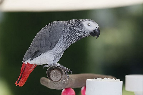 African grey parrot (photo by Keith Allison from Wikimedia Commons)