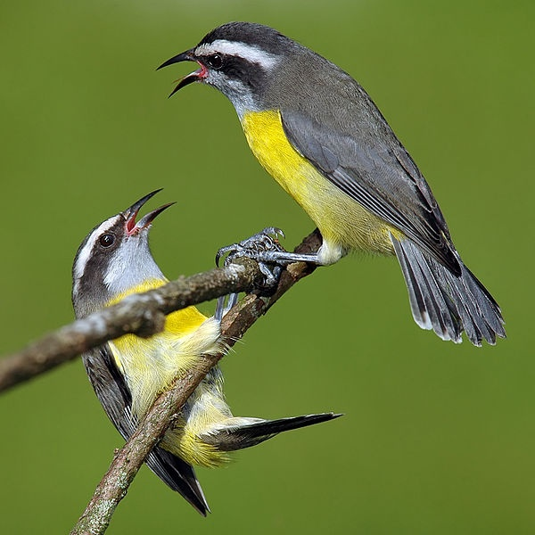 Banaquits arguing in Brazil (photo from Wikimedia Commons, Creative Commons license)