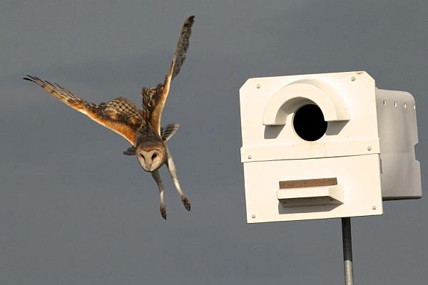 Barn owl in flight near its nest box (photo by Chuck Tague)