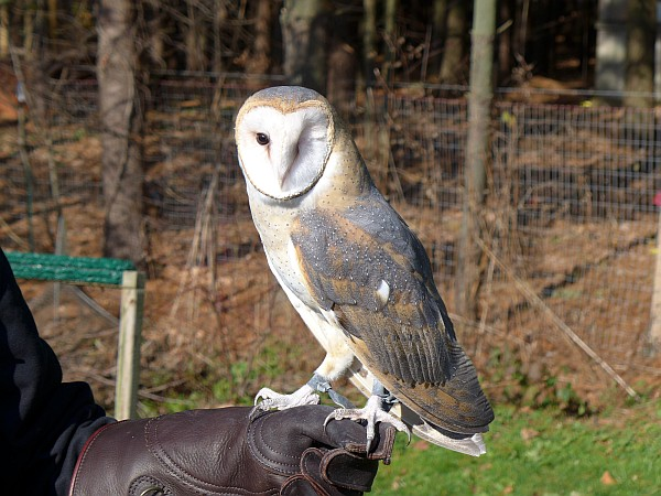 Barn owl, Jackie O, at Medina Raptor Center (photo by Kate St. John)