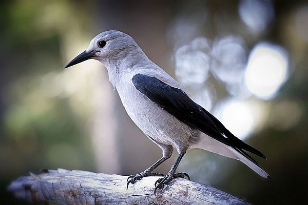 Clark's nutcracker (photo by Steven Pavlov via Wikimedia Commons, Cretive Commons license)