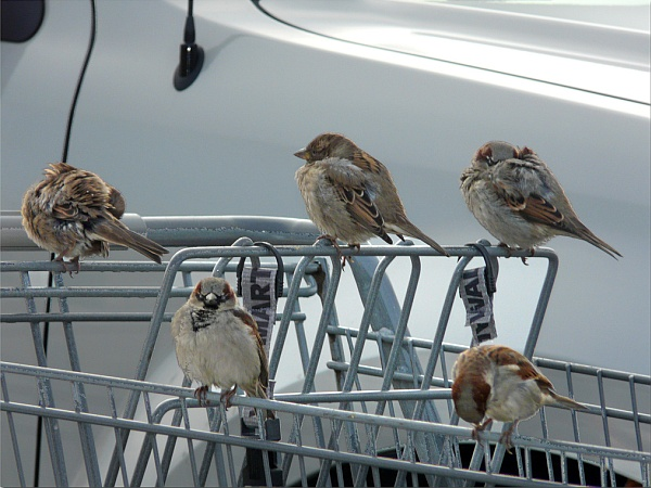 House sparrows at the Walmart parking lot (photo by Sage via Flickr, Creative Commons license)