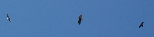 Raven chases bald eagle chasing osprey (photo from Wikimedia Commons)