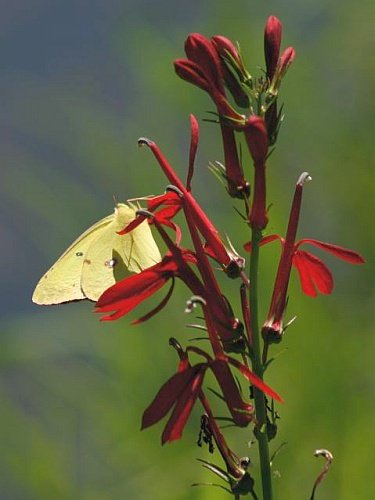 Orange Sulphur butterlfly on Cardinal Flower (photo by Chuck Tague)