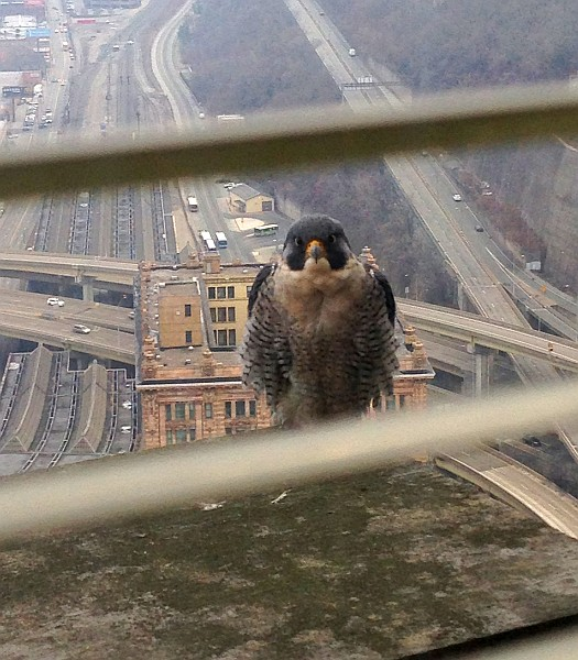 Gulf Tower peregrine wishes us Happy Holidays (photo by Ann Hohn)