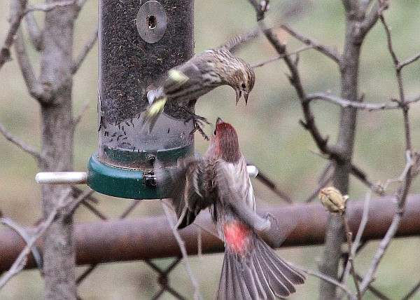 Pine siskin and house finch in a dispute at the feeder (photo by Tom Moeller)