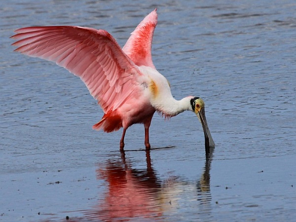 Roseate spoonbill (photo by Chuck Tague)