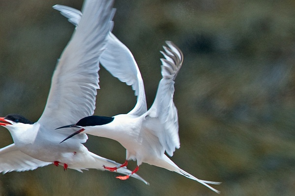 Roseate Tern chasing Common Tern at Petit Manan Island, Maine (photo by USFW via Wikimedia Commons)