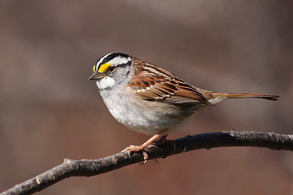 White-throated sparrow, white-striped color morph (photo from Wikimedia Commons, Creative Commons license)