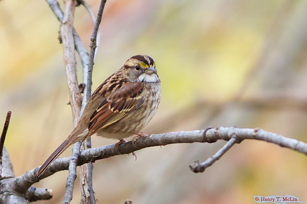 White-throated sparrow, tan-striped color morph (photo by Henry McLin on Flickr, Creative Commons license)