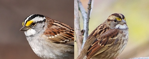 White-throated sparrows -- white-striped and tan-striped side-by-side (photos from Wikimedia Commons and Henry McLin, Creative Commons licenses)