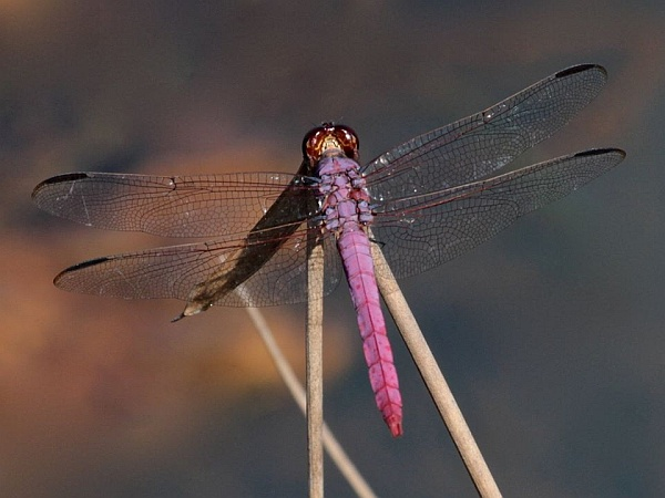 Roseate skimmer (photo by Chuck Tague)