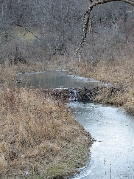 Beaver dam on the North Fork of Pine Creek (photo by Dianne Machesney)