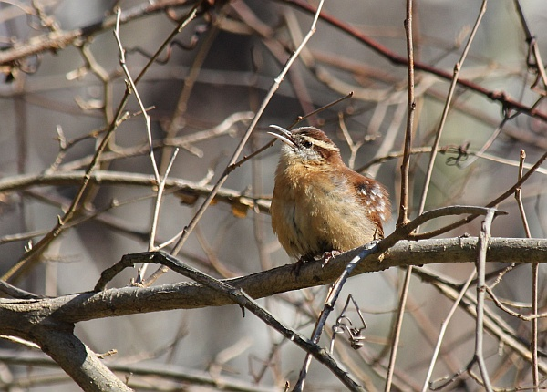 Carolina wren (photo by Gregory Diskin)