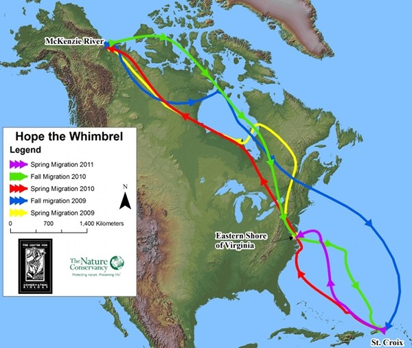 Migration journeys of Hope the Whimbrel, 2009 to 2011 (map from Center for Conservation Biology and The Nature Conservancy, courtesy Center for Conservation Biology)