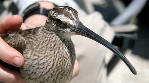 Whimbrel ready for release in migration tracking study (photo by Barry Truitt, courtesy Center for Conservation Biology via William&Mary news)