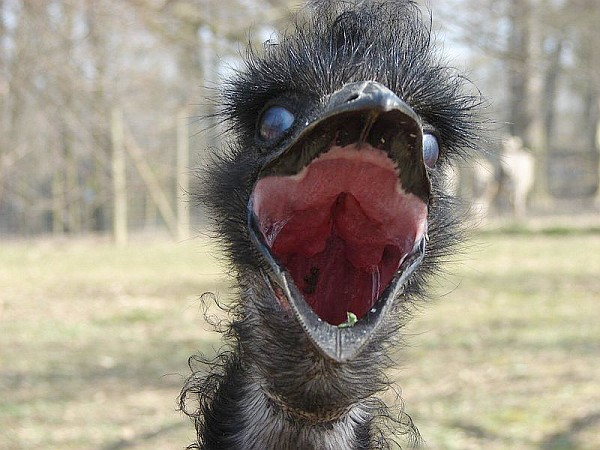 Emu closeup with its mouth open (photo from Wikimedia Commons)
