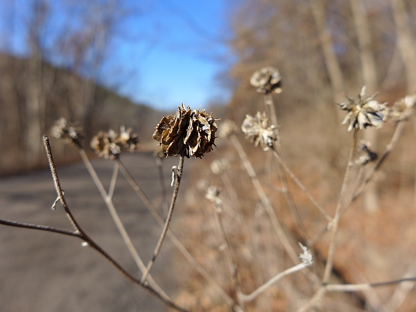 Wingstem seeds, North Park, 1 Jan 2015 (photo by Kate St. John)