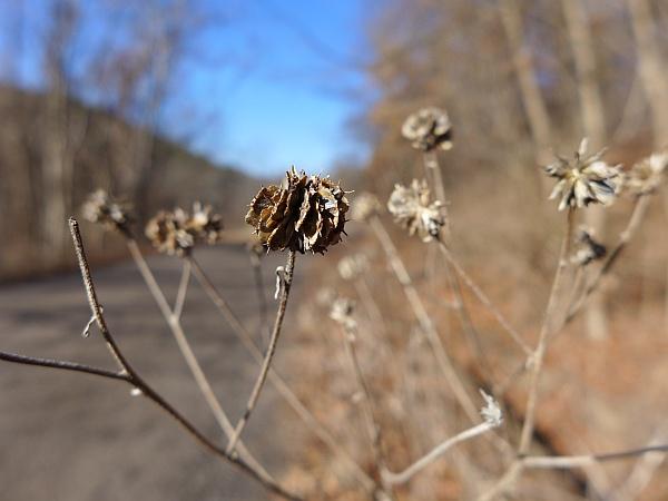 Wingstem seeds, North Park, 1 Jan 2015 (photo by Kate St. John)