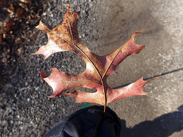 Scarlet oak leaf, 1 Jan 2015 (photo by Kate St. John)