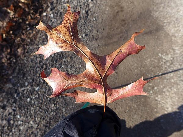 Scarlet oak leaf, 1 Jan 2015 (photo by Kate St. John)