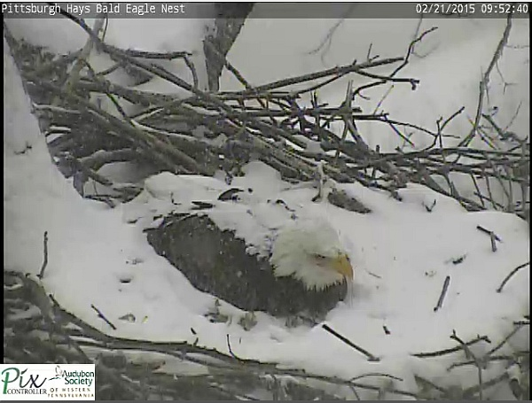 Hays bale eagle in snow on nest, 21 Feb 2015 (screenshot from the Hays bald eaglecam)