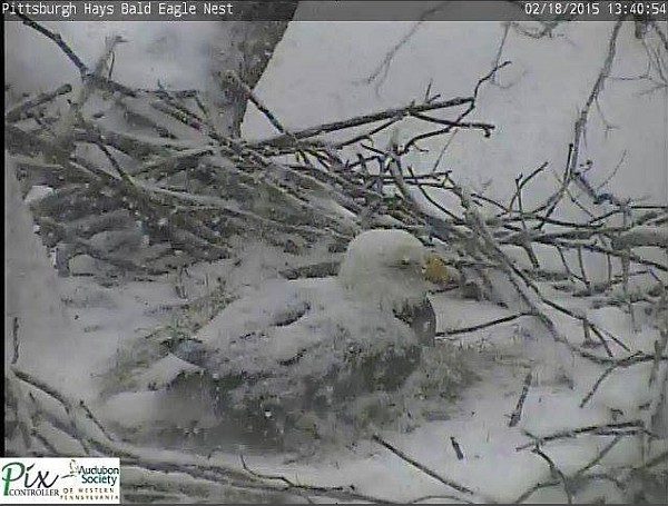 Hays bald eagle on nest in snowstorm, 18 Feb 2015 (screenshot from Hays eaglecam)