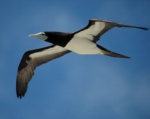 Adult brown booby in flight (photo from Wikimedia Commons)