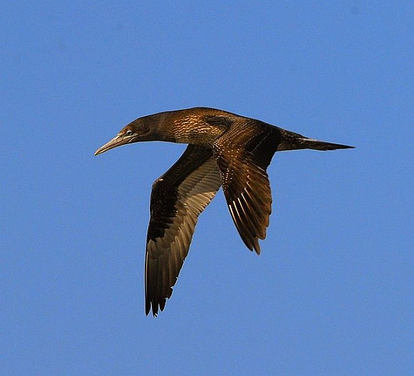 Juvenile brown booby in flight (photo from Wikimedia Commons)