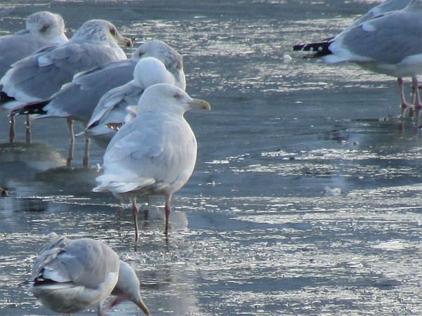 Glaucous gull at Pittsburgh's Point, 31 January 2015 (photo by Tim Vechter)
