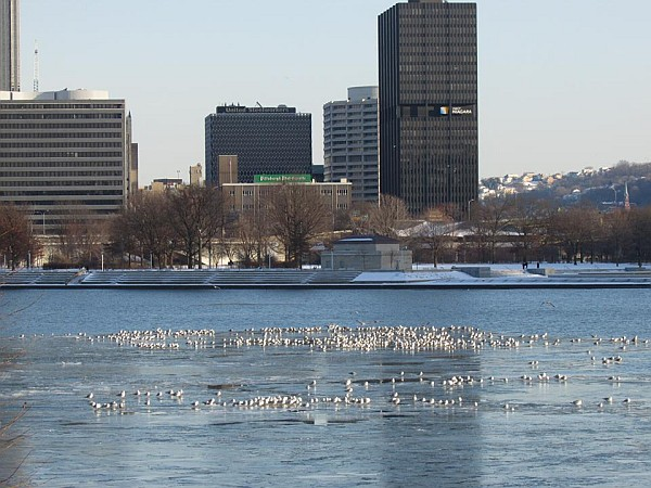 The gull flock begins to gather at the Point (photo by Tim Vechter)