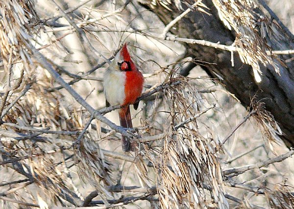 Bilateral gynandromorph northern cardinal (photo courtesy Western Illinois University)