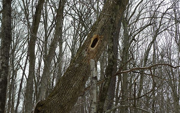 Pileated woodpecker hole in dead white ash tree, Pennsylvania (photo by Kate St. John)