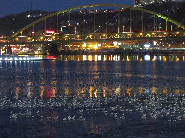 Gulls at Pittsburgh's Point at night, 31 January 2015 (photo by Tim Vechter)