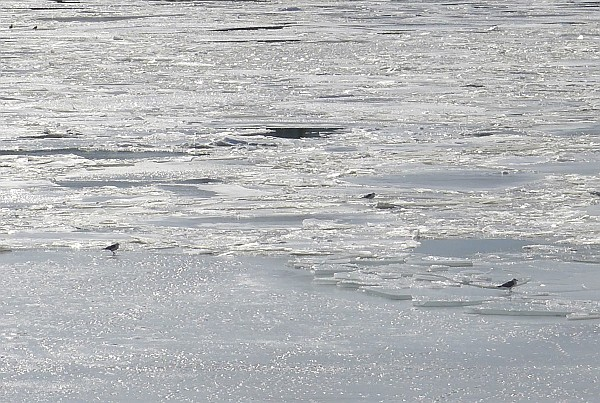 Ice and gulls on the Monongahela River, 25 Feb 2015 (photo by Kate St. John)